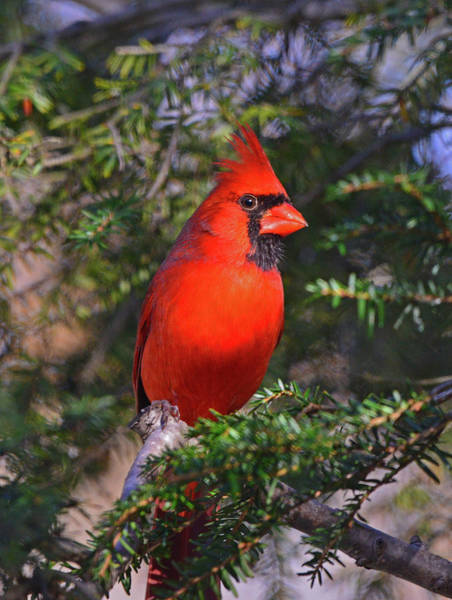 Photograph - Northern Cardinal by Ken Stampfer