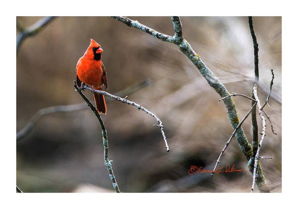 Photograph - Northern Cardinal Looking by Edward Peterson