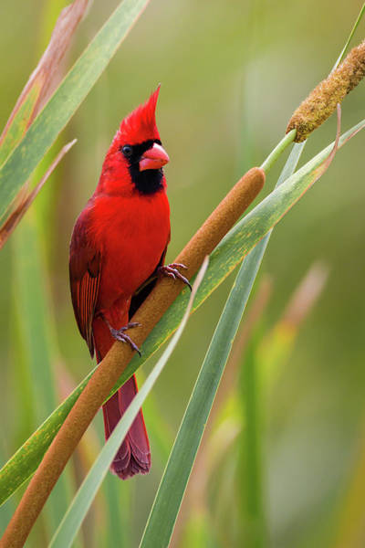 Photograph - Northern Cardinal On Cattail by Dawn Currie