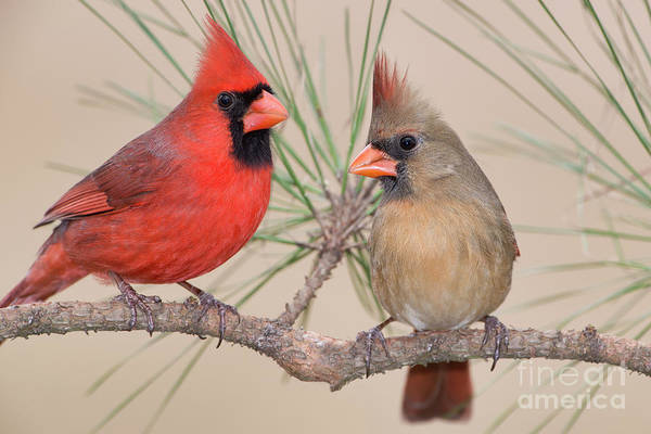 Wall Art - Photograph - Northern Cardinal Pair In Pine Tree by Bonnie Barry