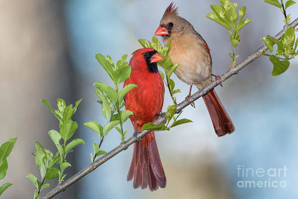 Wall Art - Photograph - Northern Cardinal Pair In Spring by Bonnie Barry