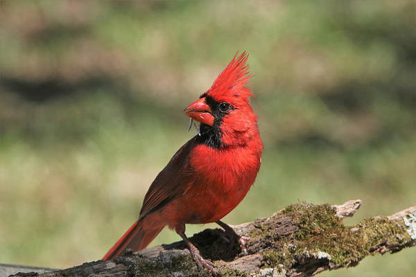 Photograph - Northern Cardinal Portrait by Sheila Brown