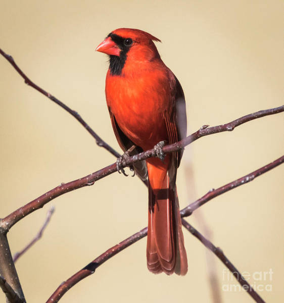 Photograph - Northern Cardinal Profile by Ricky L Jones