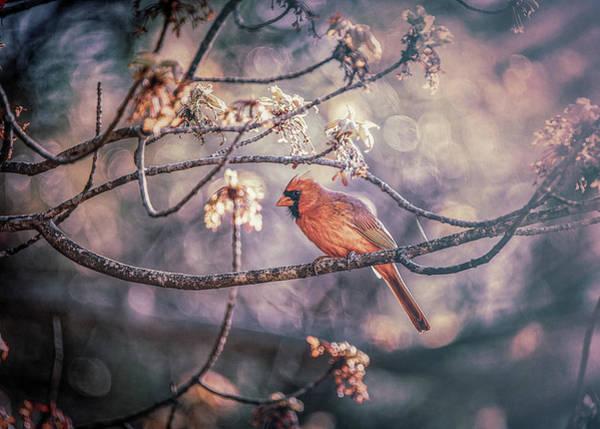 Photograph - Northern Cardinal Spring by Bob Orsillo