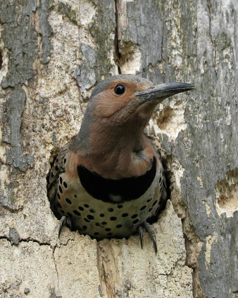 Northern Flicker Photograph - Northern Flicker About To Leave The Nest by Doris Potter