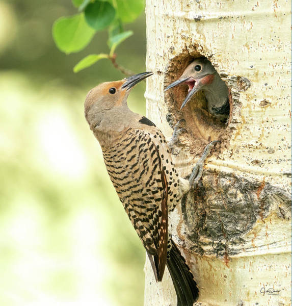 Photograph - Northern Flicker Feeding Baby by Judi Dressler
