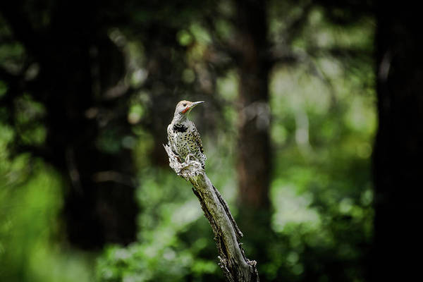 Photograph - Northern Flicker by Jason Coward
