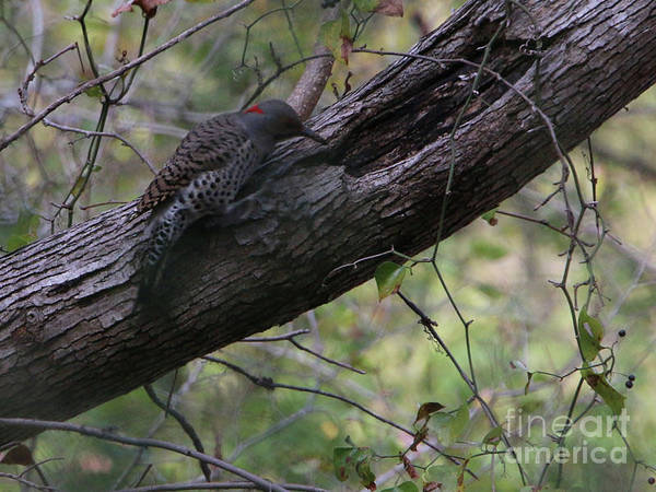 Northern Flicker Photograph - Northern Flicker  by Ruth Housley