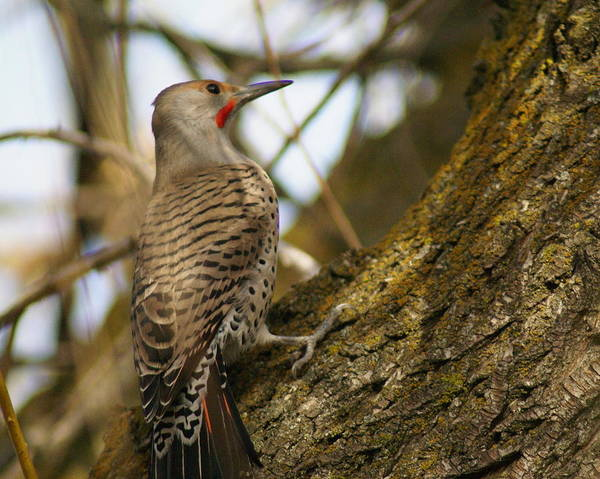 Photograph - Northern Flicker Woodpecker 1 by Ben Upham III