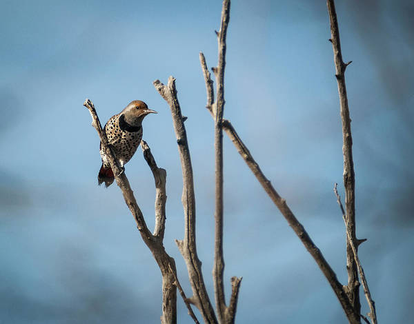 Colaptes Photograph - Northern Flicker Woodpecker by Rick Mosher