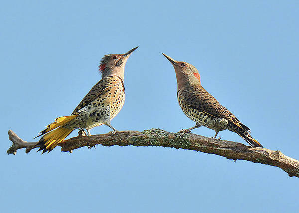 Northern Flicker Photograph - Northern Flickers Communicate by Alan Lenk