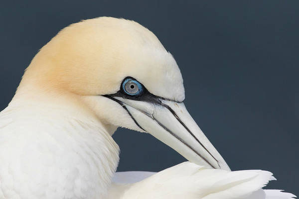 Photograph - Northern Gannet At Troup Head - Scotland by Karen Van Der Zijden