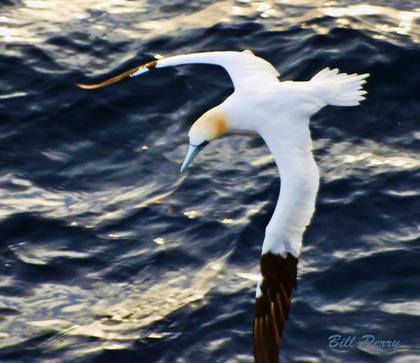 Wall Art - Photograph - Northern Gannet Looking For A Meal Offshore by Bill Perry