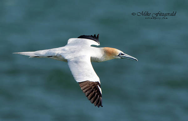 Photograph - Northern Gannet by Mike Fitzgerald