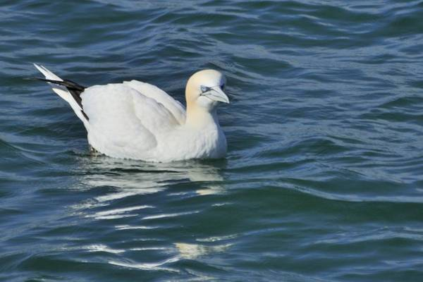 Photograph - Northern Gannet Resting On The Water by Bradford Martin