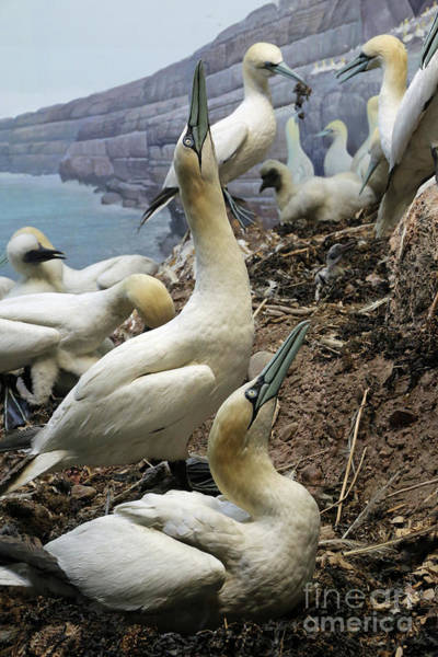 Photograph - Northern Gannet Rookery by Kevin McCarthy