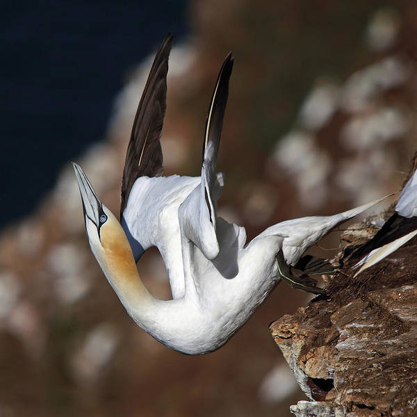 Photograph - Northern Gannet Taking Off by Maria Gaellman