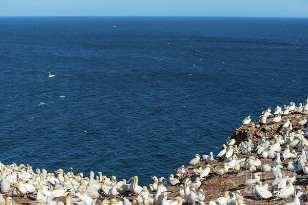 Photograph - Northern Gannets At The Cliff Edge by Les Palenik