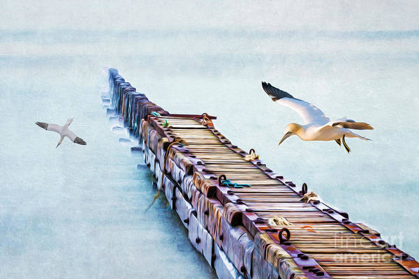 Wall Art - Photograph - Northern Gannets Fishing by Laura D Young