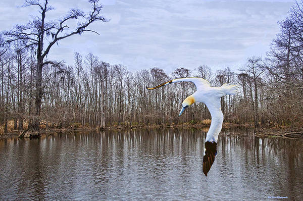 Wall Art - Photograph - Northern Gannett In The Marsh  by Bill Perry