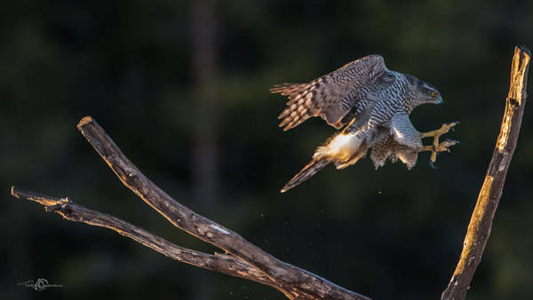 Wall Art - Photograph - Northern Goshawk's Landing by Torbjorn Swenelius