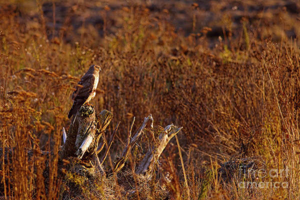 Harrier Photograph - Northern Harrier At Sunset by Sharon Talson