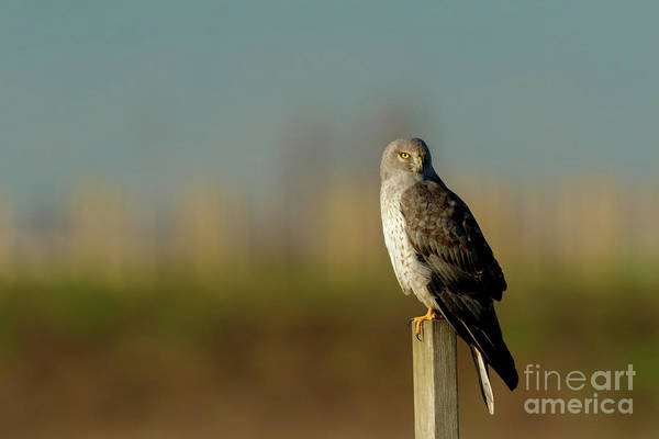 Harrier Photograph - Northern Harrier by Beve Brown-Clark Photography