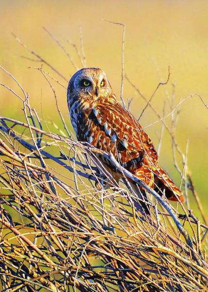 Photograph - Northern Harrier by Greg Norrell