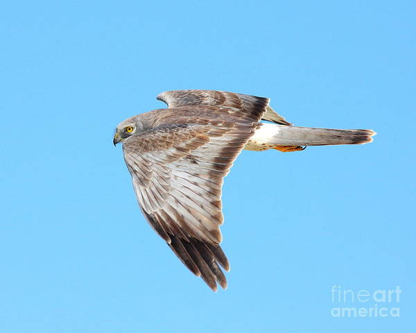 Photograph - Northern Harrier In Flight Looking Over Shoulder by Wingsdomain Art and Photography