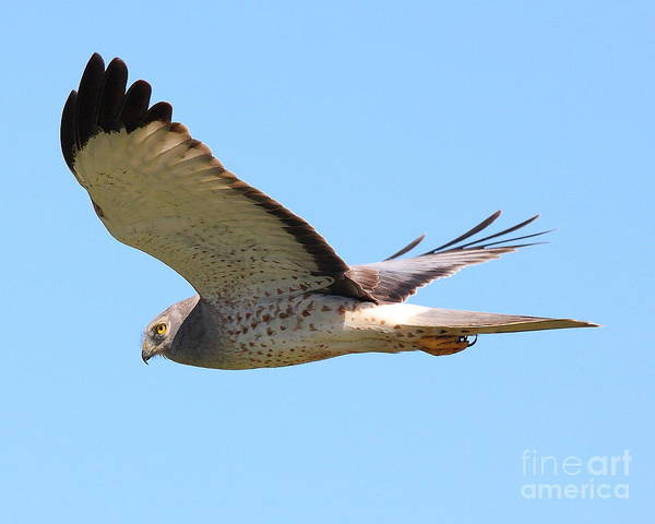 Photograph - Northern Harrier In Flight by Wingsdomain Art and Photography