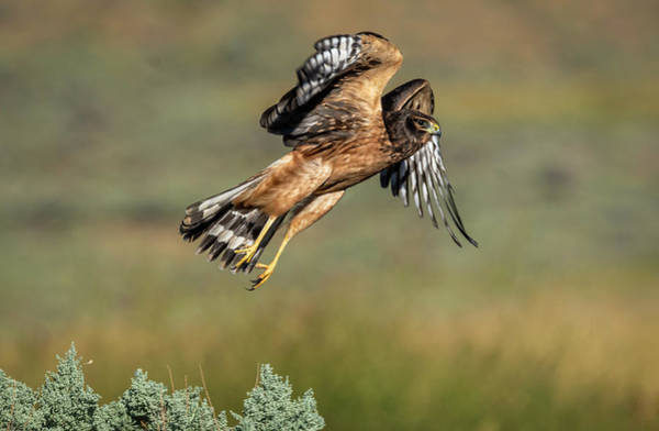 Harrier Photograph - Northern Harrier by Rick Mosher