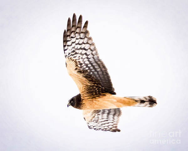 Photograph - Northern Harrier  by Ricky L Jones