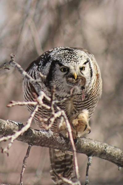 Houlton Photograph - Northern Hawk Owl Having Lunch 9445 by Joseph Marquis