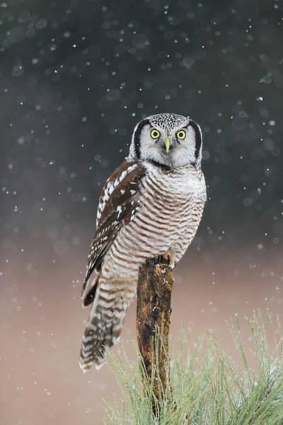 Wall Art - Photograph - Northern Hawk Owl  by Scott  Linstead