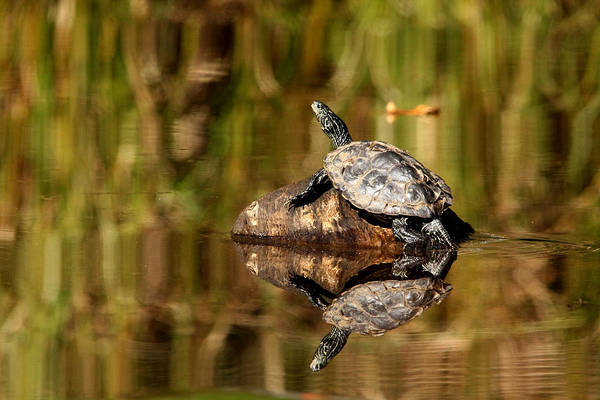 Deadhead Wall Art - Photograph - Northern Map Turtle by Debbie Oppermann