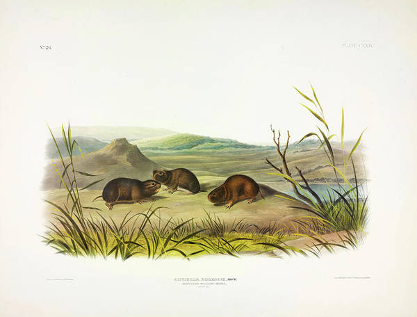 Ferrets Wall Art - Painting - Northern Meadow-mouse by John James Audubon