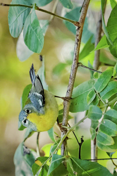 Photograph - Northern Parula II by Dawn Currie