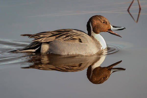 Photograph - Northern Pintail Reflection  by Mark Miller