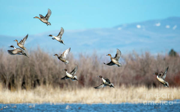 Anas Photograph - Northern Pintail Take-off by Mike Dawson
