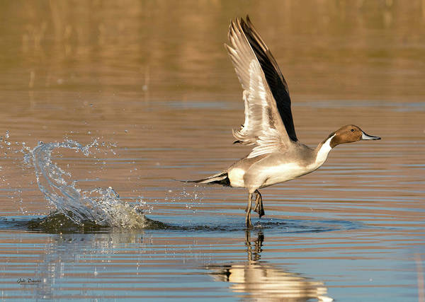 Photograph - Northern Pintail With Splash by Judi Dressler