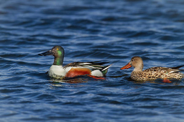 Photograph - Northern Shovelers by Mark Miller