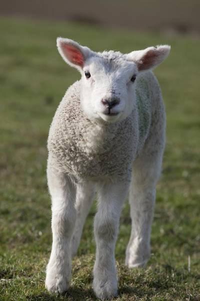 Sheep Photograph - Northumberland, England A White Lamb by John Short