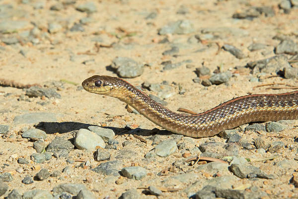 Wall Art - Photograph - Northwestern Garter Snake by Rich Leighton