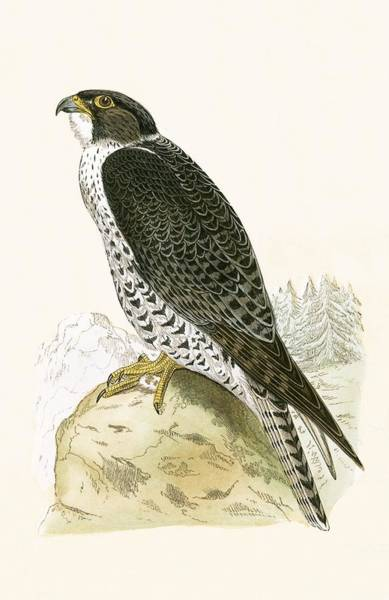 Norwegian Painting - Norwegian Jer Falcon by English School
