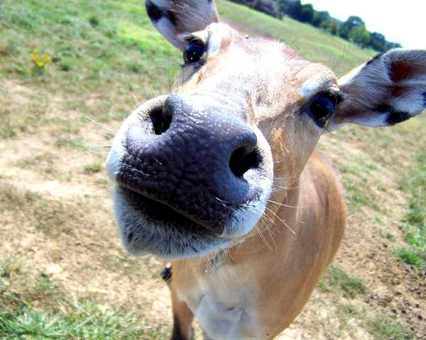 Photograph - Nosey Cow by Jai Johnson