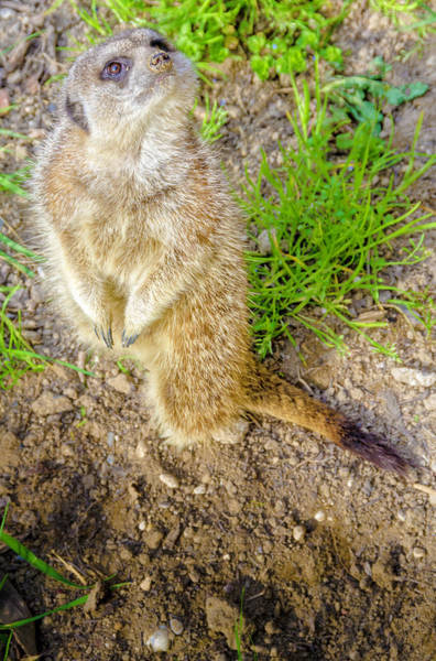 Photograph - Nosy Gopher by Wolfgang Stocker