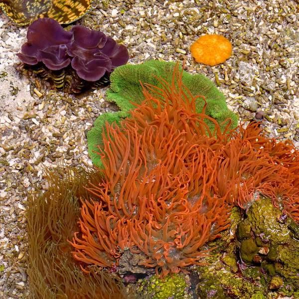 Photograph - Not An Enemy - Sea Anemone by KJ Swan