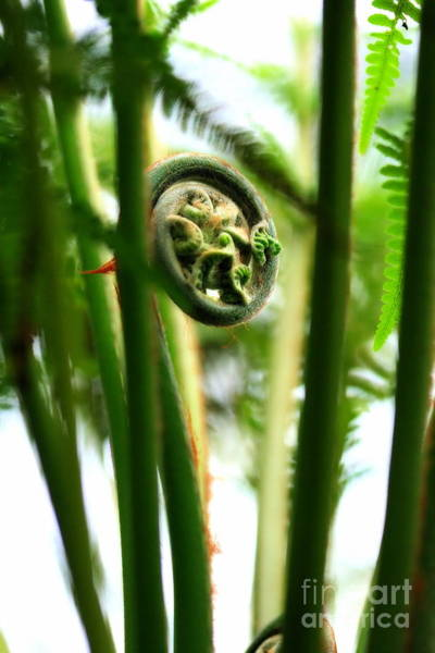 Photograph - Not Quite Unfurled Fiddlehead Fern by Angela Rath