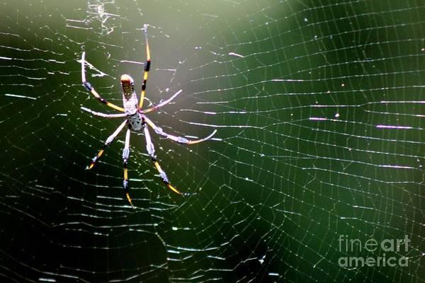 Golden Orb Spider Photograph - Not So Itsy Bitsy by Mesa Teresita
