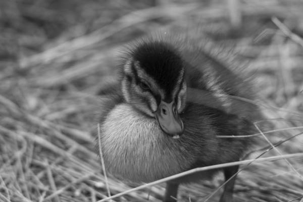 Wall Art - Photograph - Not So Ugly Duckling Bw by Chris Whittle